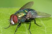 ความรู้ทั่วไปเกี่ยวกับแมลงวัน